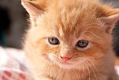 pictureof baby kitten for kitten food