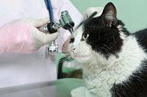 cat getting earschecked for earmites