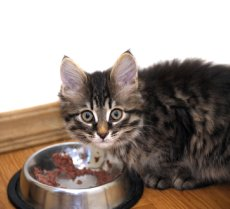 picture of cat eating for cat food allergies