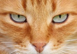 Feline Eye Infection