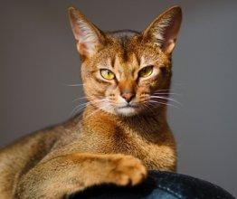 feline herpes virus