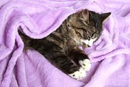 picture of a kitten coveredin a blanket