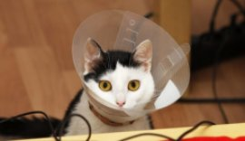 cat with a collar who recently got spayed