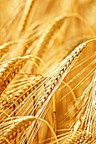 picture  of wheat for natural cat litter