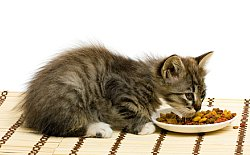 kitten eating dry cat food