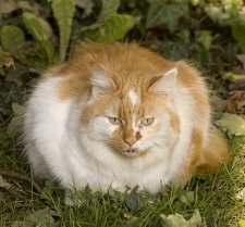 picture of cat for feline obesity
