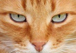 Feline Eye Infection
