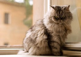 Feline skin problems